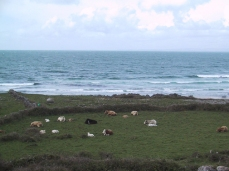 Galway-animals-in-front-sea